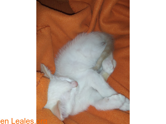 Maow divertida gatita en busca de hogar. - 3