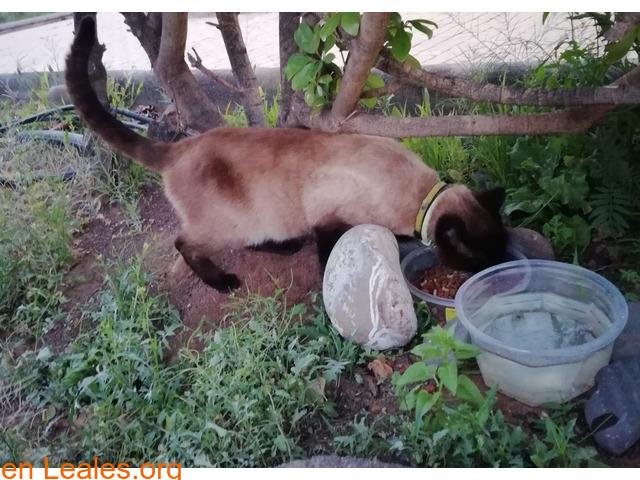 Gato Siames encontrado en Carrizal