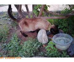 Gato Siames encontrado en Carrizal - Imagen 1