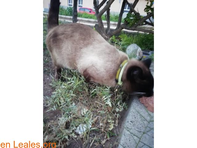 Gato Siames encontrado en Carrizal - 2