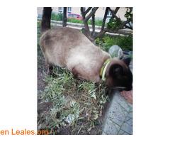Gato Siames encontrado en Carrizal - Imagen 2