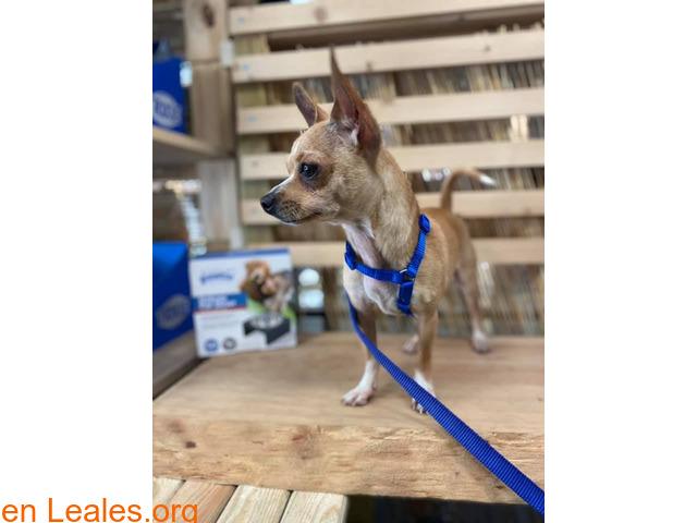 Chihuahua encontrado Las Palmas - 1