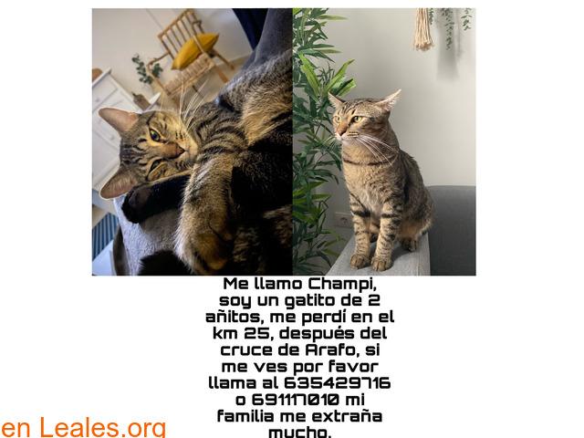 Gatito castrado desaparecido-Champi