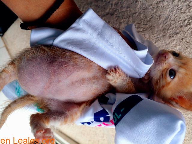 Duda sobre inflamación gato