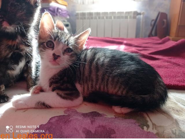 Tigreton en adopcion