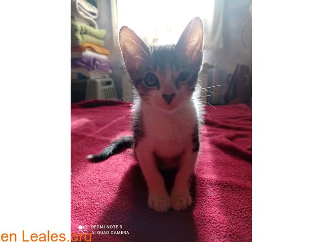 Tigreton en adopcion - 2
