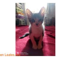 Tigreton en adopcion - Imagen 2
