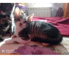 Tigreton en adopcion - Imagen 3