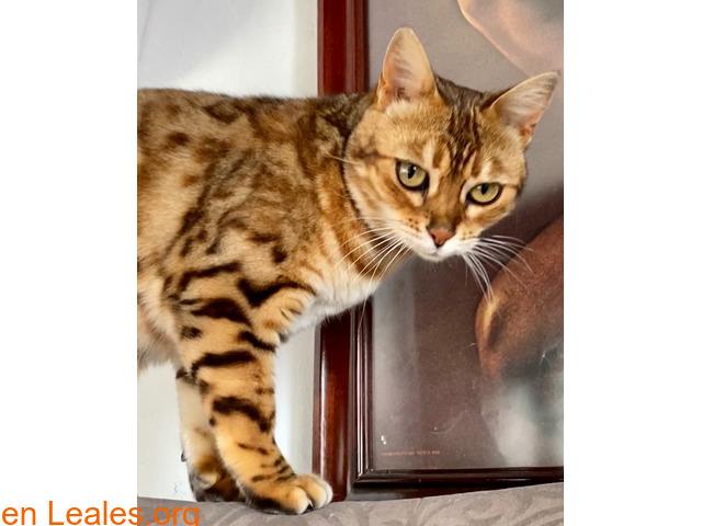 SUMBAWA (gata bengalí) - 1