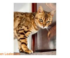 SUMBAWA (gata bengalí) - Imagen 1
