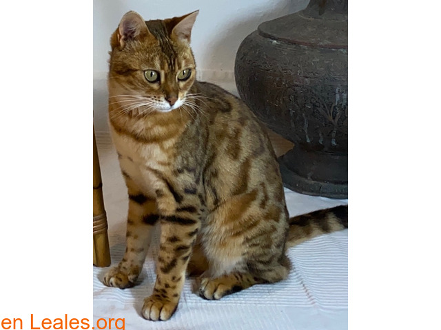SUMBAWA (gata bengalí) - 2