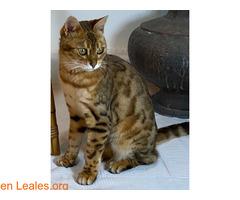 SUMBAWA (gata bengalí) - Imagen 2
