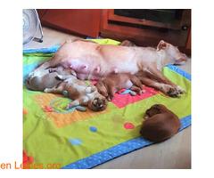 Podenquita en adopción - Imagen 8