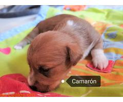 Camarón en adopción - Imagen 5