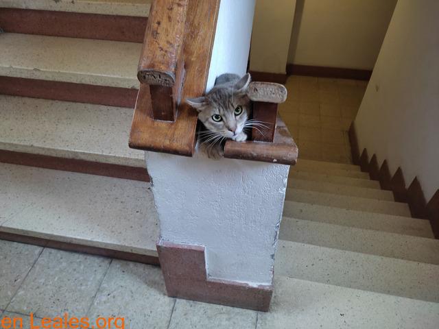 gato macho encontrado en la zona de scha
