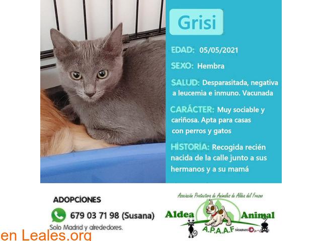 Grisi en adopción - 1