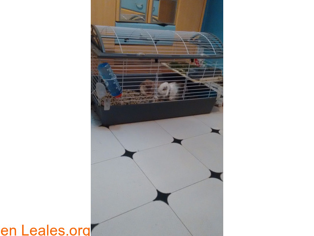 Se dan en adopción dos conejas. - 1