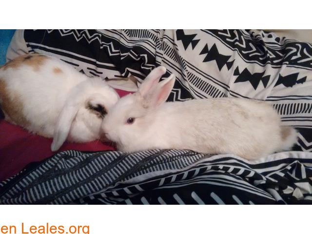 Se dan en adopción dos conejas. - 2