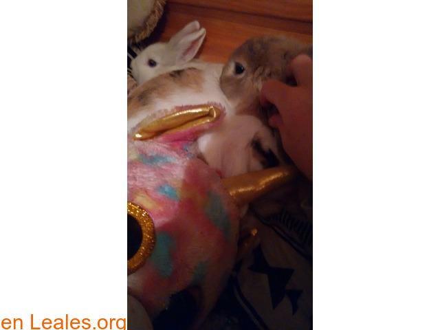 Se dan en adopción dos conejas. - 3