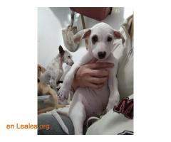 Manchi ya adoptada - Imagen 1