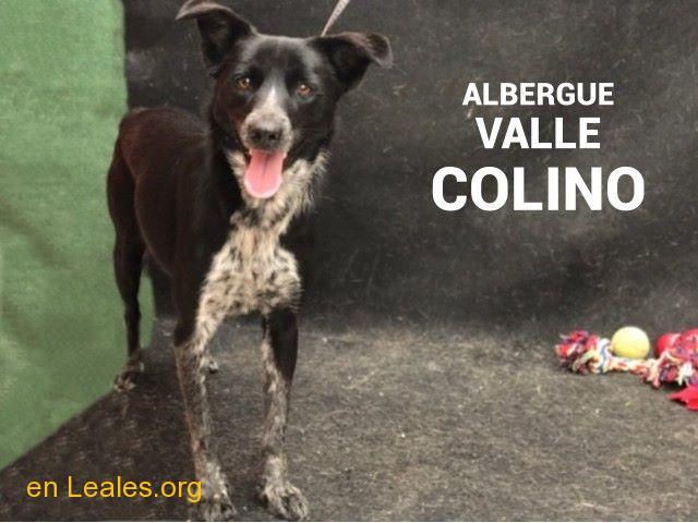 AMELIA ADOPTADA ALBERGUE VALLE COLINO - 2