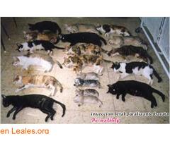 Sacrificios de animales sanos en GC - Imagen 2
