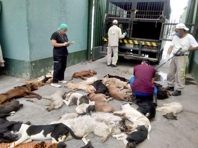 Sacrificios de animales sanos en GC - 5