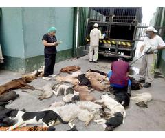 Sacrificios de animales sanos en GC - Imagen 5